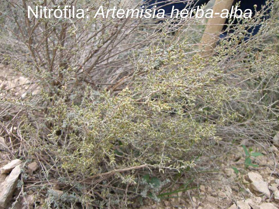 Nitrófila: Artemisia herba-alba