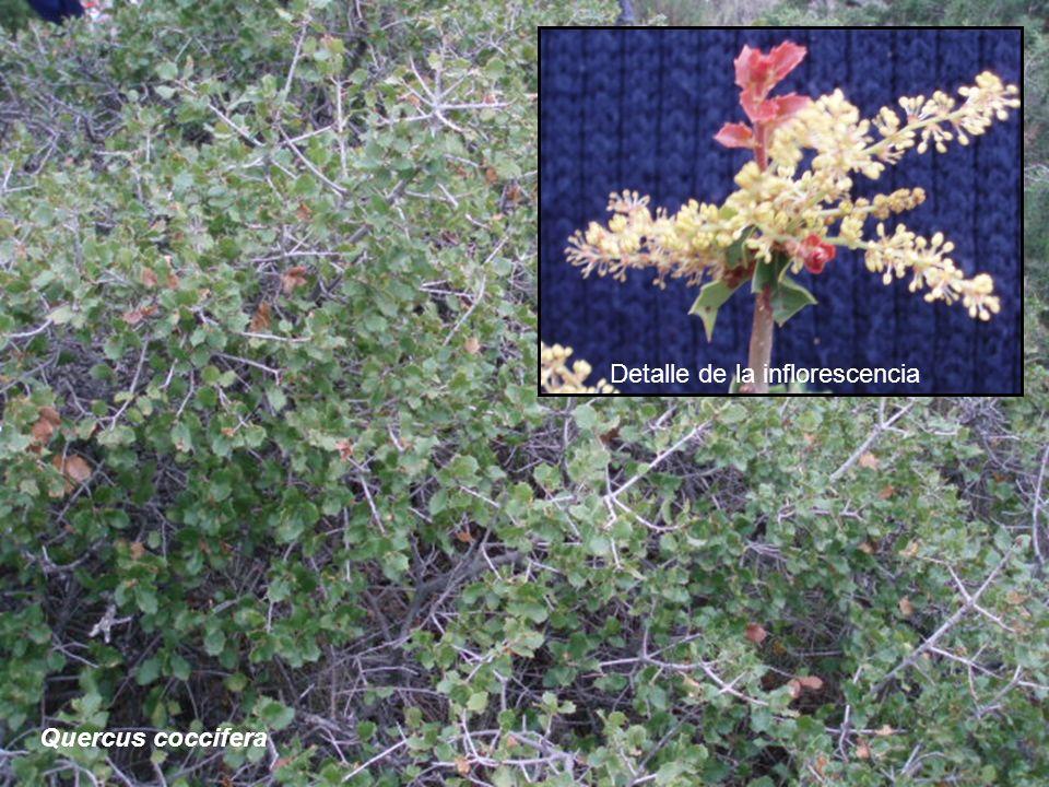 Quercus coccifera Detalle de la inflorescencia