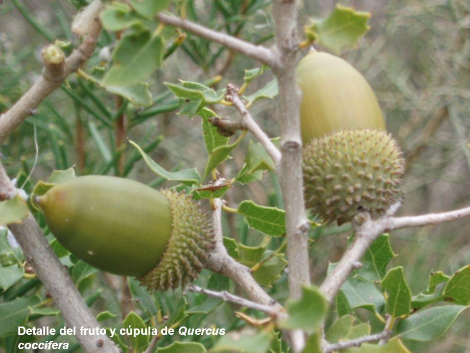 Detalle del fruto y cúpula de Quercus coccifera