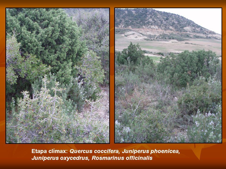 Etapa clímax: Quercus coccifera, Juniperus phoenicea, Juniperus oxycedrus, Rosmarinus officinalis