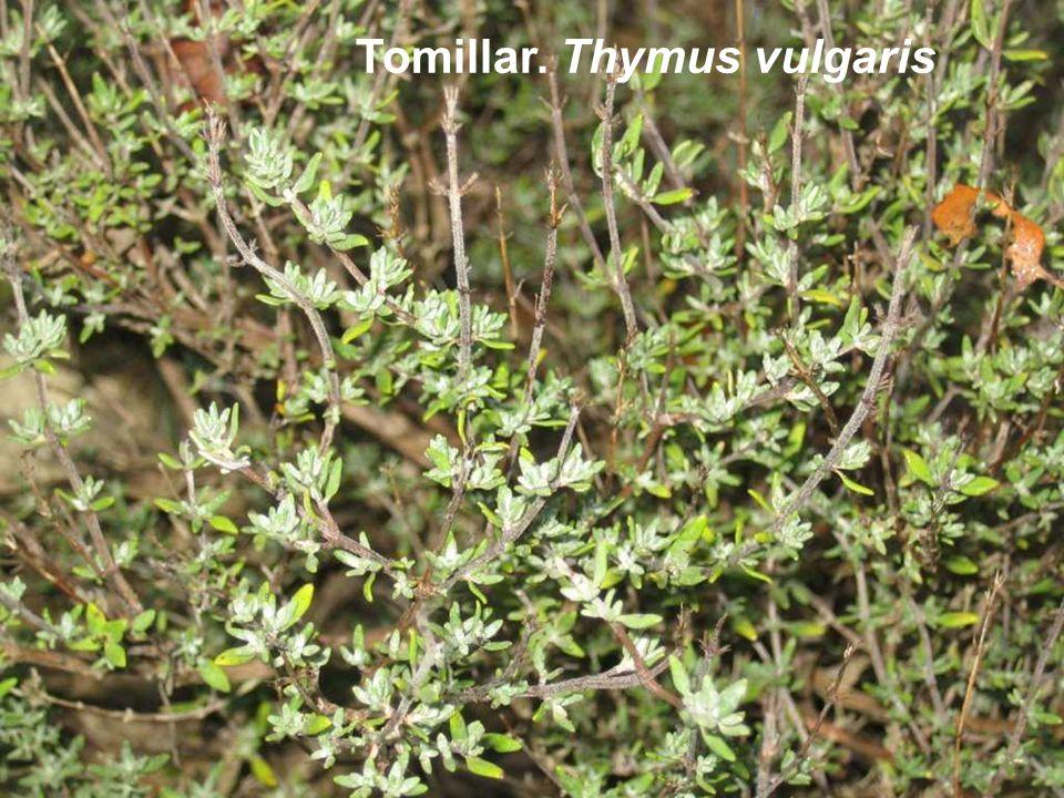 Tomillar. Thymus vulgaris