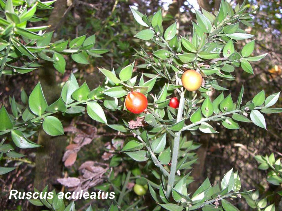 Ruscus aculeatus
