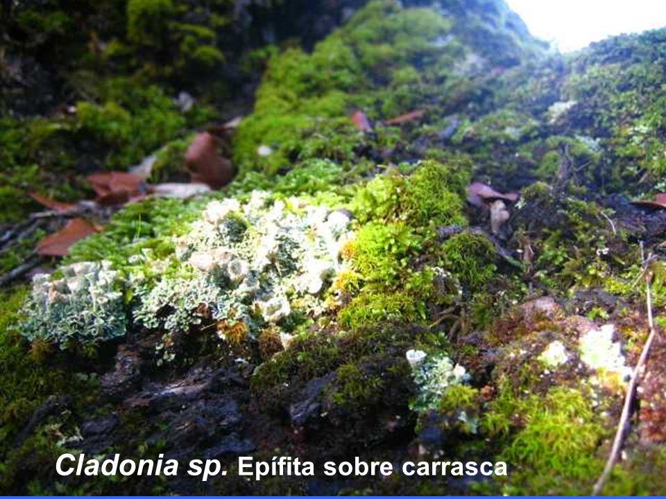 Cladonia sp. Epífita sobre carrasca