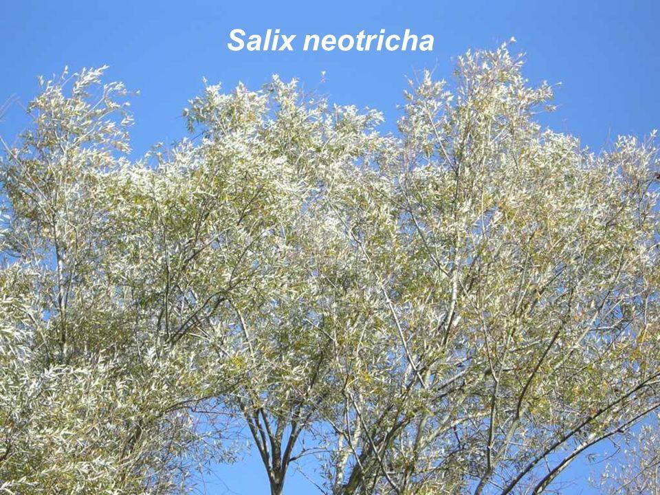 Salix neotricha