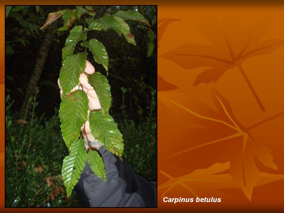 Carpinus betulus