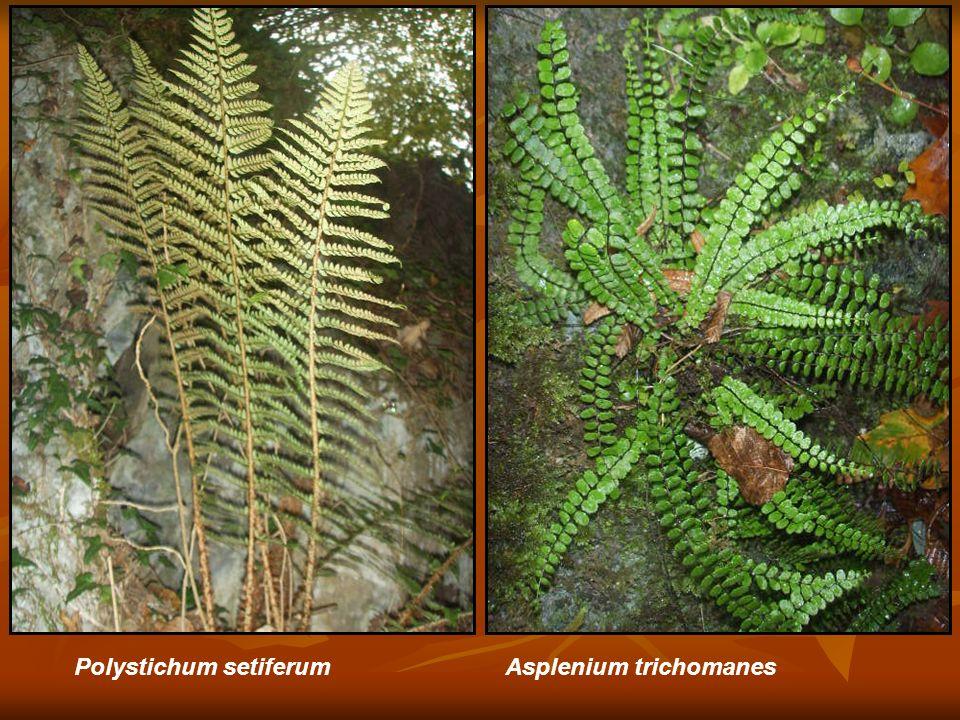 Asplenium trichomanesPolystichum setiferum
