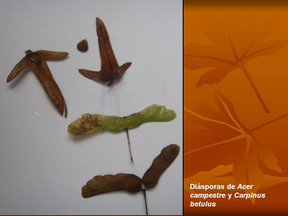 Diásporas de Acer campestre y Carpinus betulus