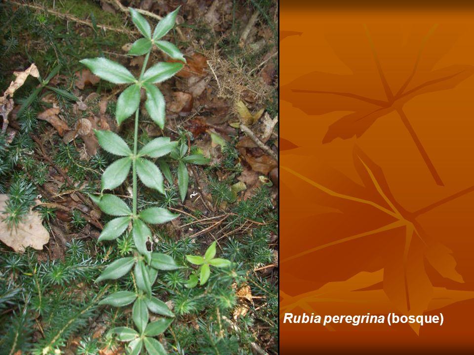 Rubia peregrina (bosque)