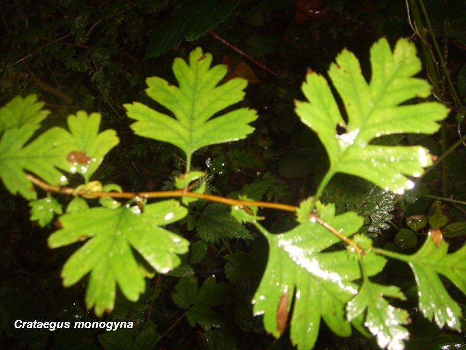 Prunus insititia (Borde de bosque)