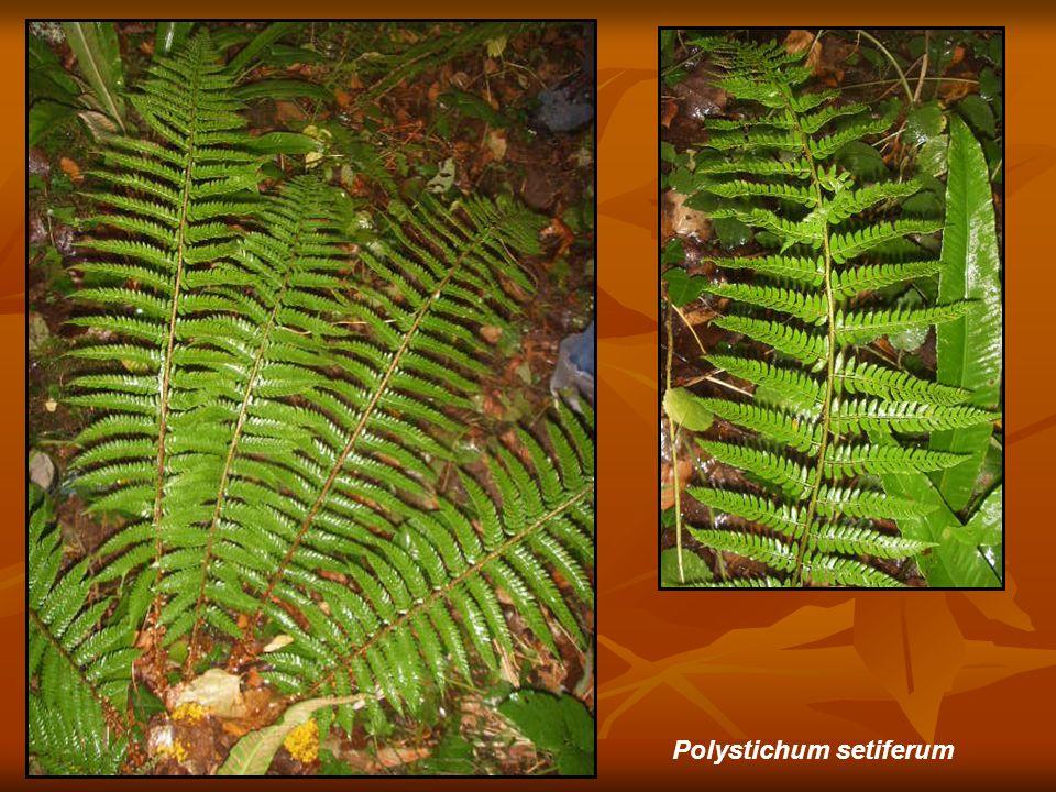 Allium ericetorum (Matorral: Tojal- brezal)