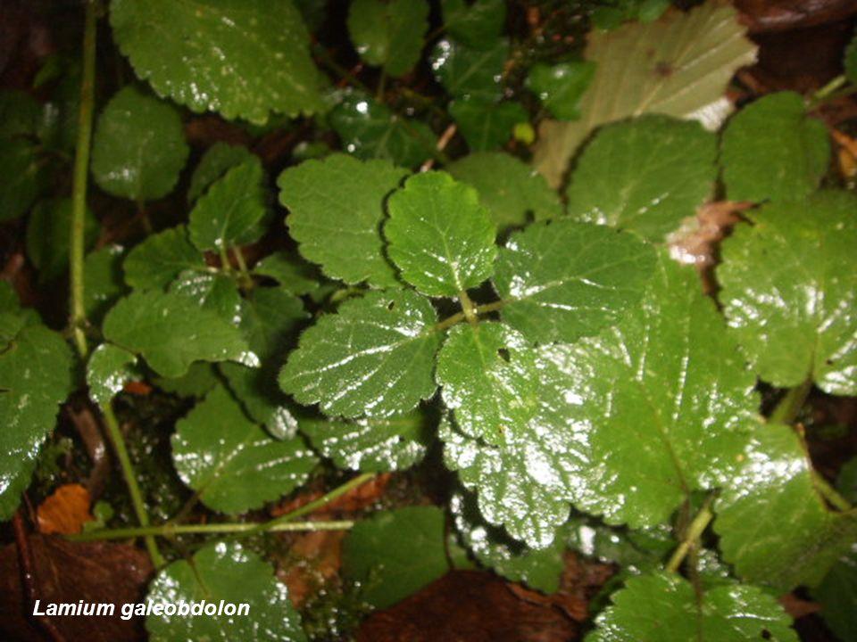 Cúpula, glande y semilla de Quercus robur