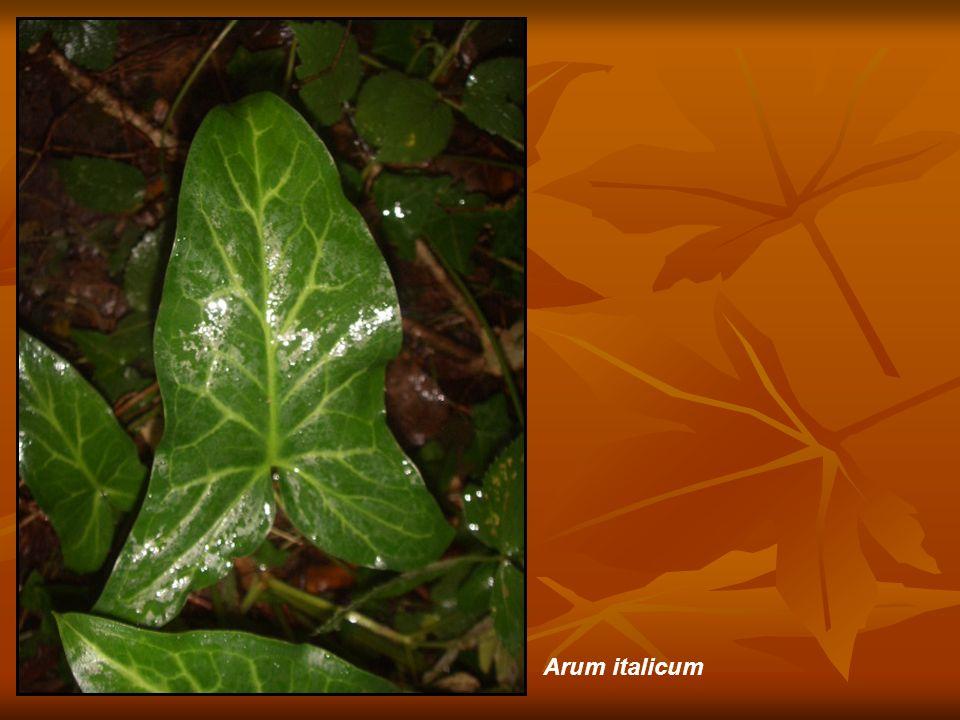 Cornus sanguinea (depauperado por la oscuridad del bosque)