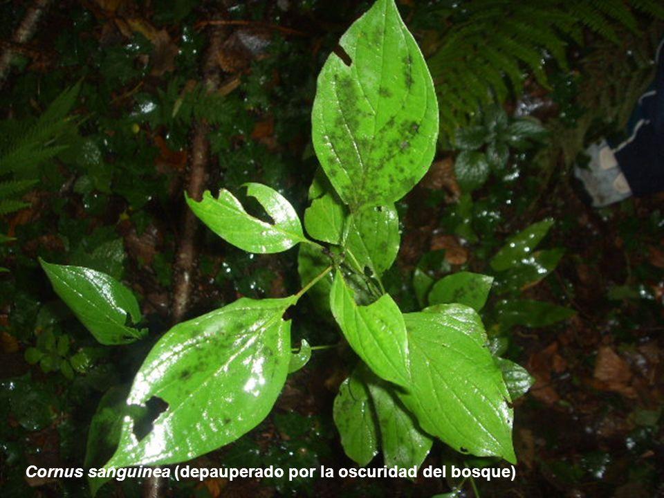 SERIE 9: Serie Cantaboreuskalduna y Pirenaica occidental de los hayedos acidófilos (Saxifrago hirsutae-Fago sylvaticae Sigmetum)
