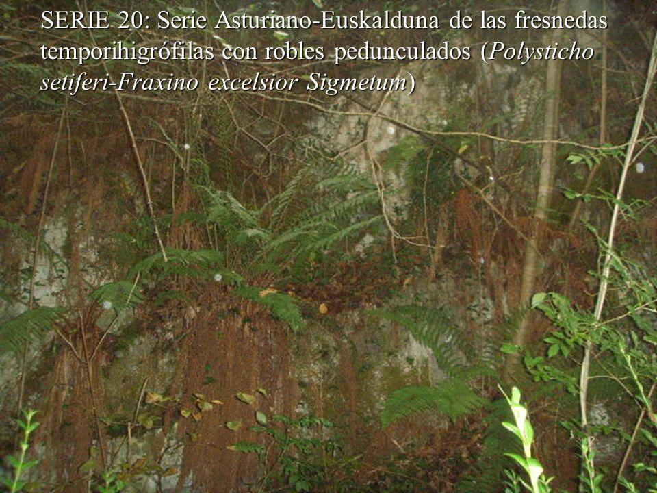 SERIE 20: Serie Asturiano-Euskalduna de las fresnedas temporihigrófilascon robles pedunculados (Polysticho setiferi-Fraxino excelsior Sigmetum) SERIE