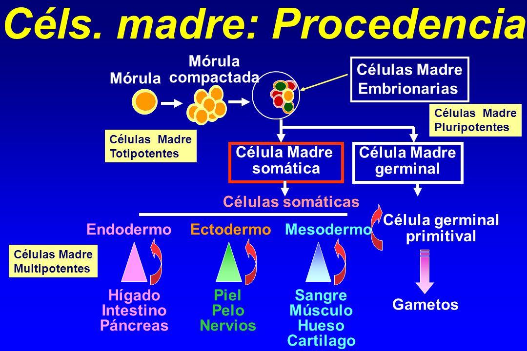 Células somáticas Endodermo Ectodermo Mesodermo Hígado Intestino Páncreas Piel Pelo Nervios Sangre Músculo Hueso Cartilago Célula Madre somática Célul