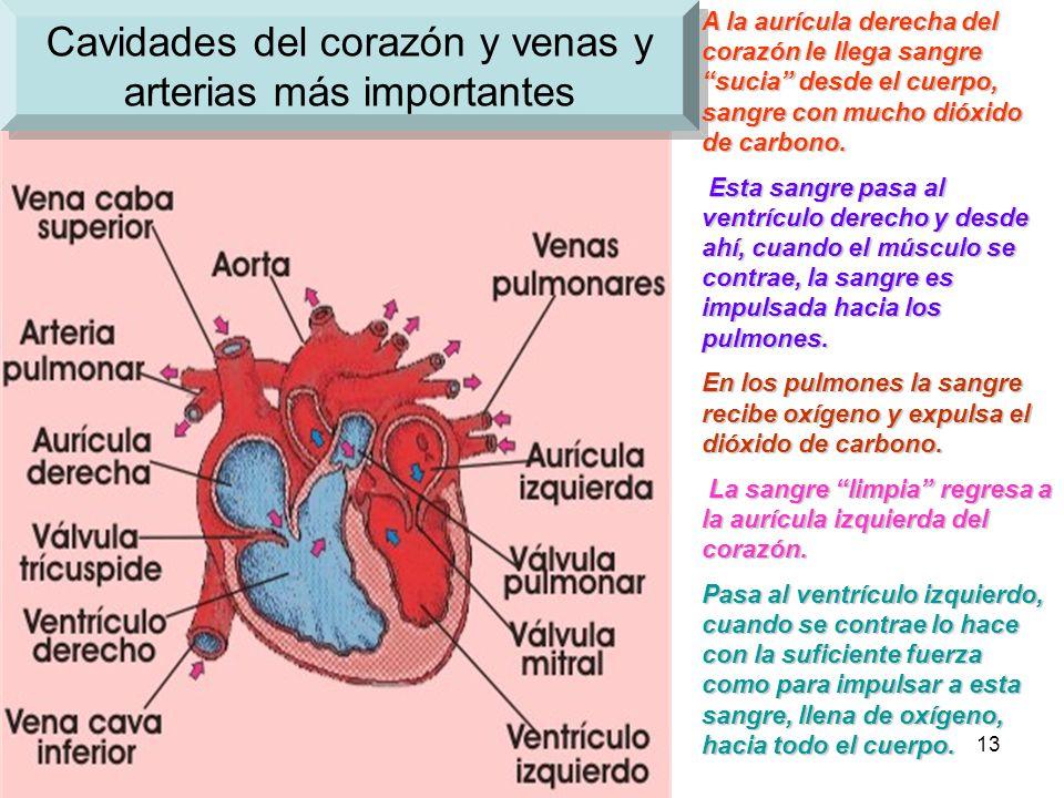 12 Cavidades del corazón El corazón está hecho de un músculo que se contrae y dilata (se mueve, late) rítmicamente. Tiene cuatro cavidades en su inter