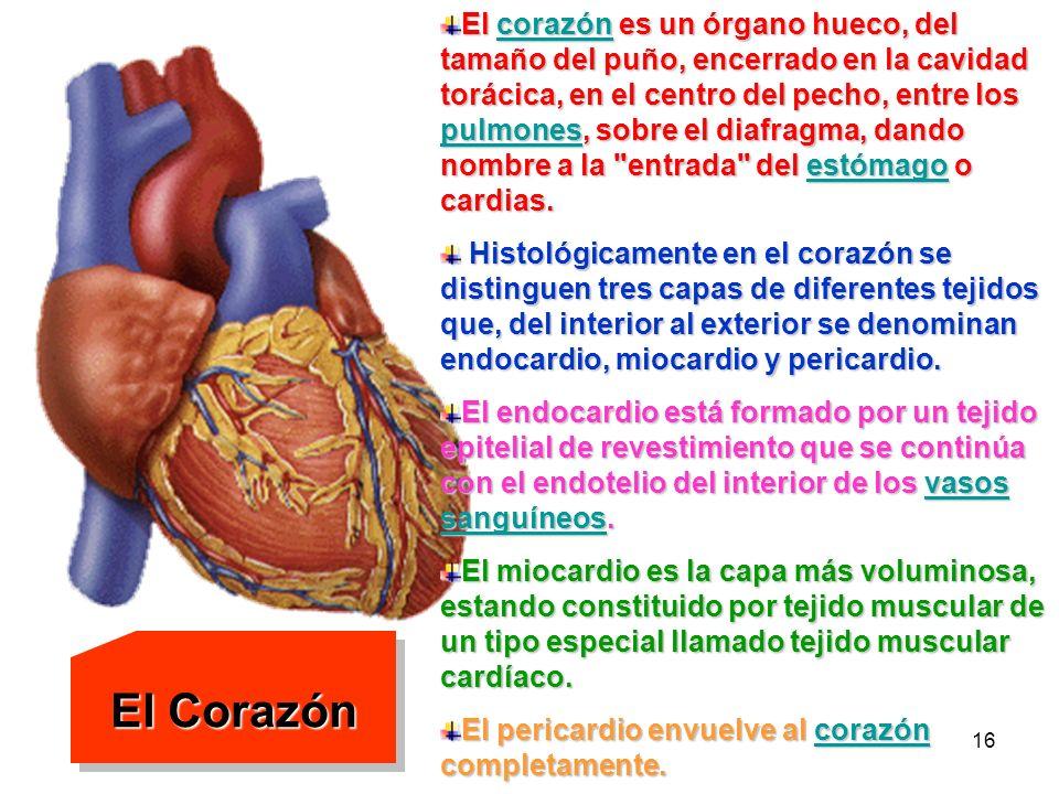 15 El corazón y los capilares sanguíneos Como una bomba, el corazón impulsa la sangre por todo el organismo, realizando su trabajo en fases sucesivas.