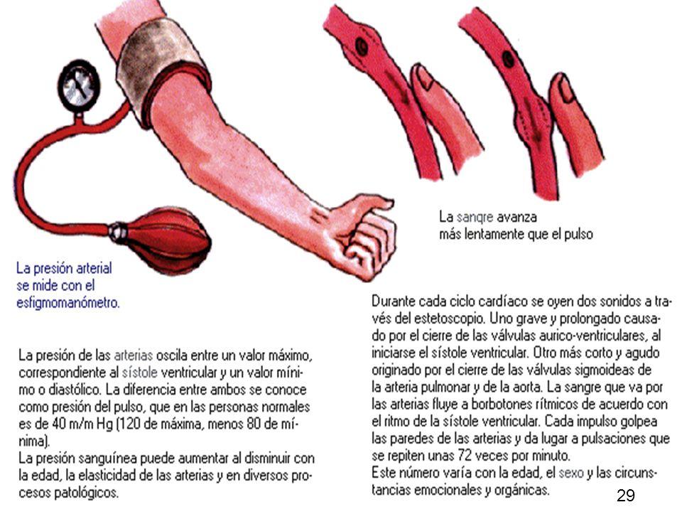 28 La aorta se divide en una serie de ramas principales que a su vez se ramifican en otras más pequeñas, de modo que todo el organismo recibe la sangr