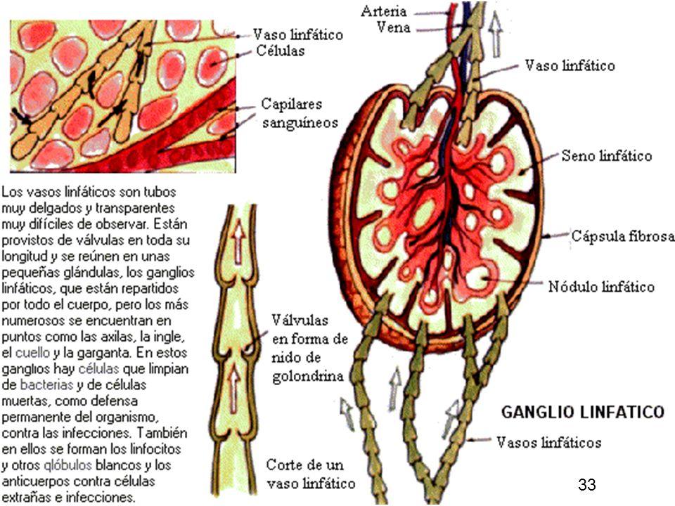 32 La linfa es un líquido incoloro formado por plasma sanguíneo y por glóbulos blancos, en realidad es la parte de la sangre que se escapa o sobra de