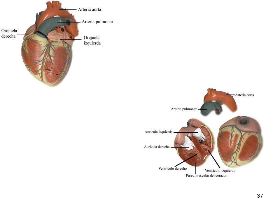 36 Actividades Explica las diferencias entre las arterias y las venas. Si quisieras tomar el pulso a una persona, ¿dónde lo harías, en una arteria o e