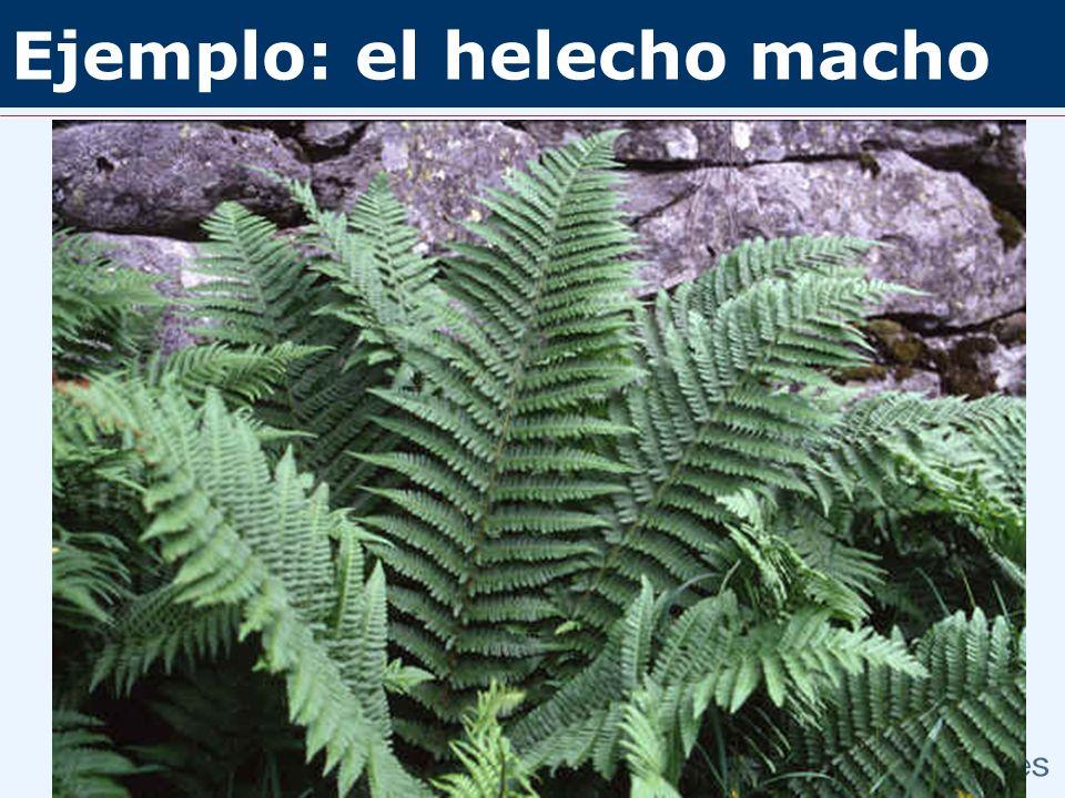 Ejemplo: el helecho macho Fl. iberica Dryopteris filix-mas Dryopteris affinis ssp.