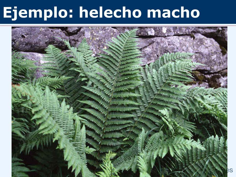 Ejemplo: helecho macho Fl. iberica Dryopteris filix-mas Dryopteris affinis ssp. affinis ssp. borreri ssp. stilluppensis Dryopteris oreades Dryopteris