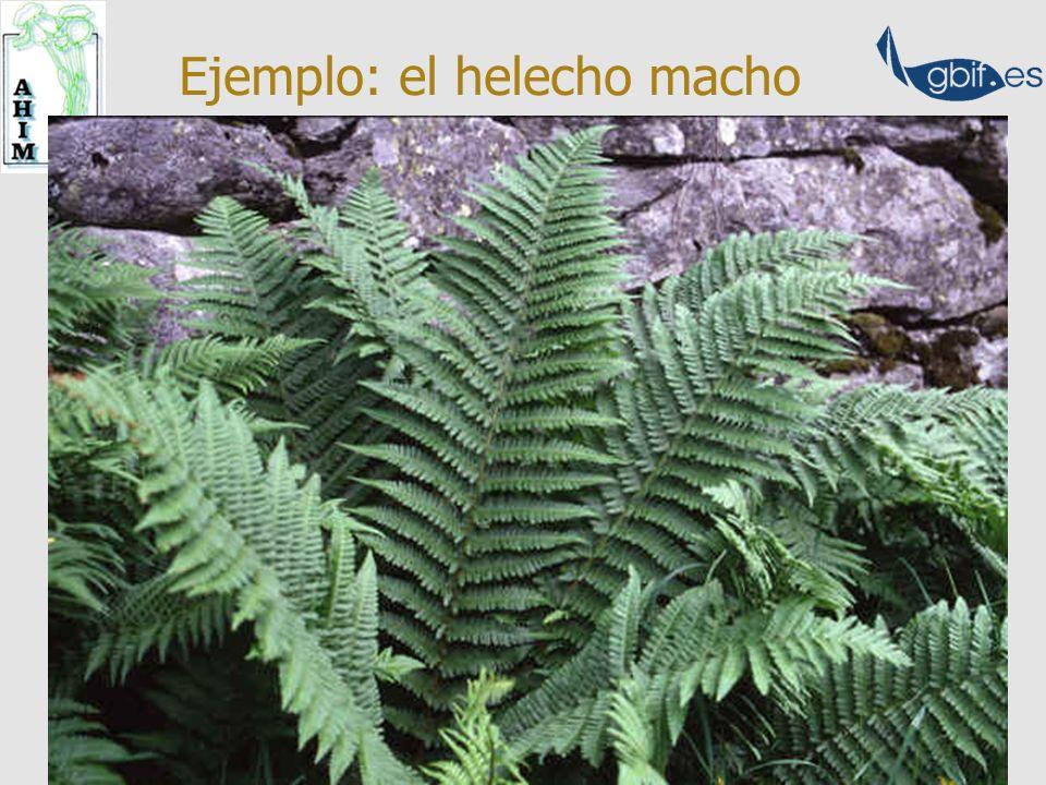 Fl. iberica Dryopteris filix-mas Dryopteris affinis ssp.