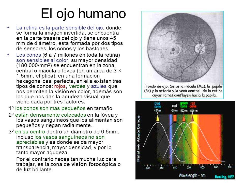 El ojo humano La retina es la parte sensible del ojo, donde se forma la imagen invertida, se encuentra en la parte trasera del ojo y tiene unos 45 mm