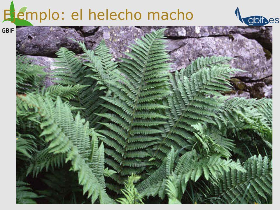 Ejemplo: el helecho macho Fl. iberica Dryopteris filix-mas Dryopteris affinis ssp. affinis ssp. borreri ssp. stilluppensis Dryopteris oreades Dryopter