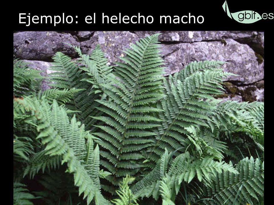 35 Ejemplo: el helecho macho Fl. iberica Dryopteris filix-mas Dryopteris affinis ssp.