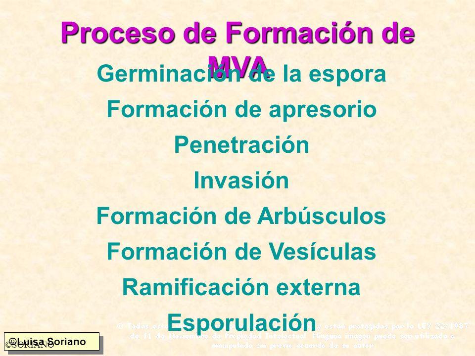 ©Luisa Soriano ©SORIANO Proceso de Formación de MVA Germinación de la espora Formación de apresorio Penetración Invasión Formación de Arbúsculos Forma