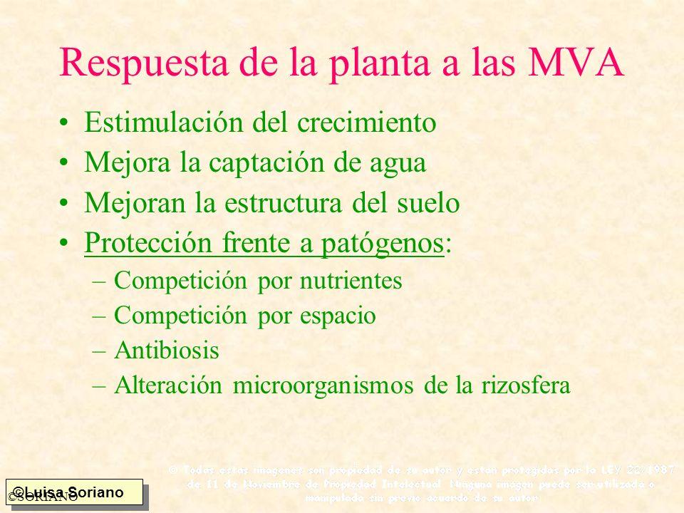 ©Luisa Soriano ©SORIANO Respuesta de la planta a las MVA Estimulación del crecimiento Mejora la captación de agua Mejoran la estructura del suelo Prot