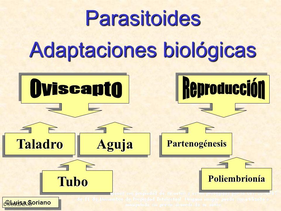©Luisa Soriano ©SORIANO Parasitoides Adaptaciones biológicas TaladroAguja Tubo Partenogénesis Poliembrionía
