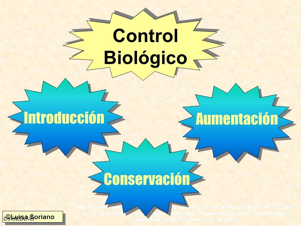 ©SORIANO ChytridiomycetosOomycetosZygomycetosDeuteromycetos Beauveria tenellaPatógenos