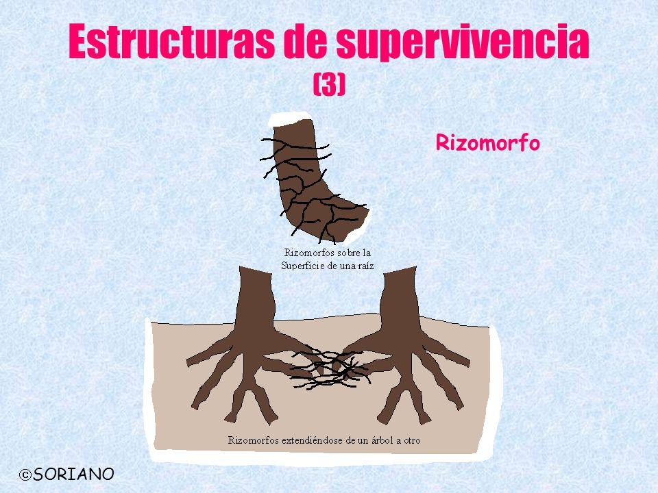 Estructuras de supervivencia (3) Rizomorfo SORIANO