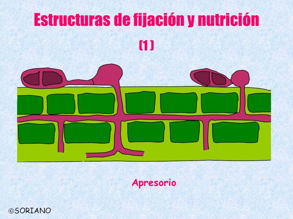 Estructuras de fijación y nutrición (1 ) Apresorio SORIANO