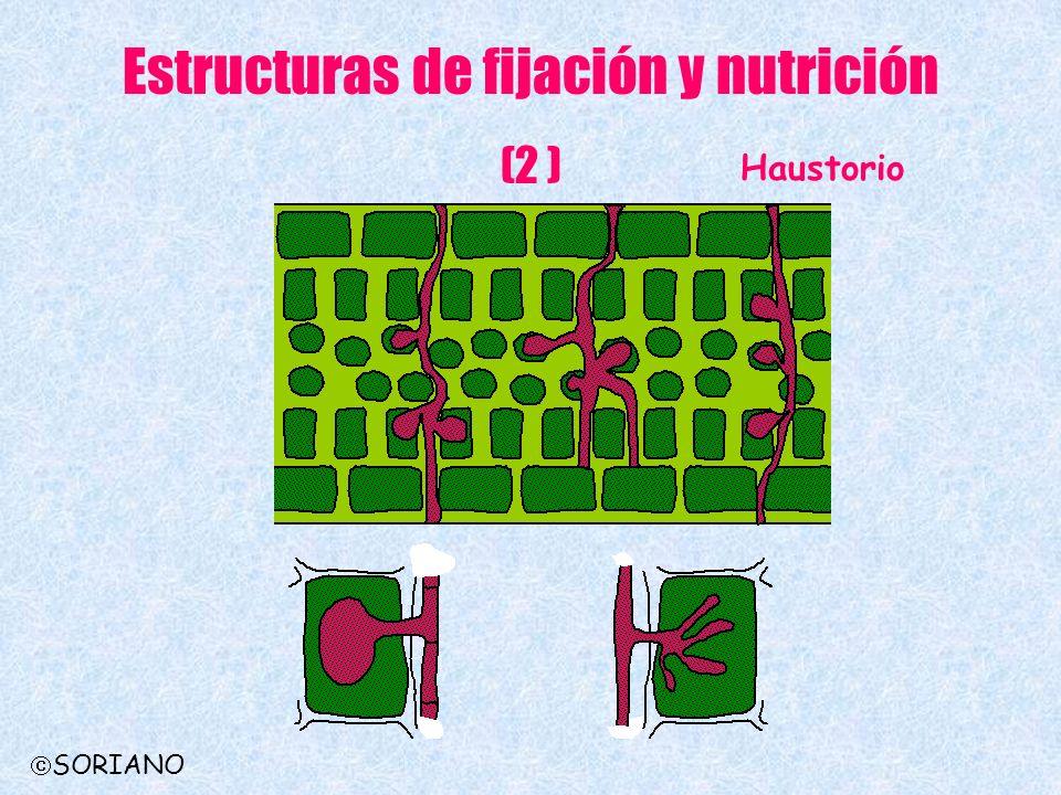 Estructuras de fijación y nutrición (2 ) Haustorio SORIANO