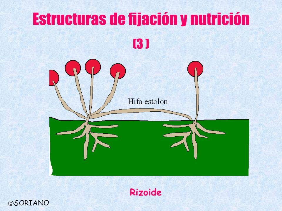 Estructuras de fijación y nutrición (3 ) Rizoide SORIANO