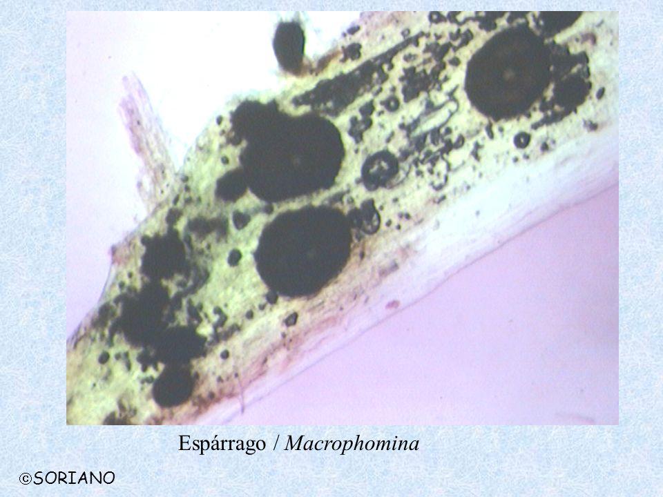 Espárrago / Macrophomina SORIANO