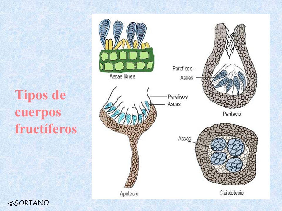 Tipos de cuerpos fructíferos SORIANO