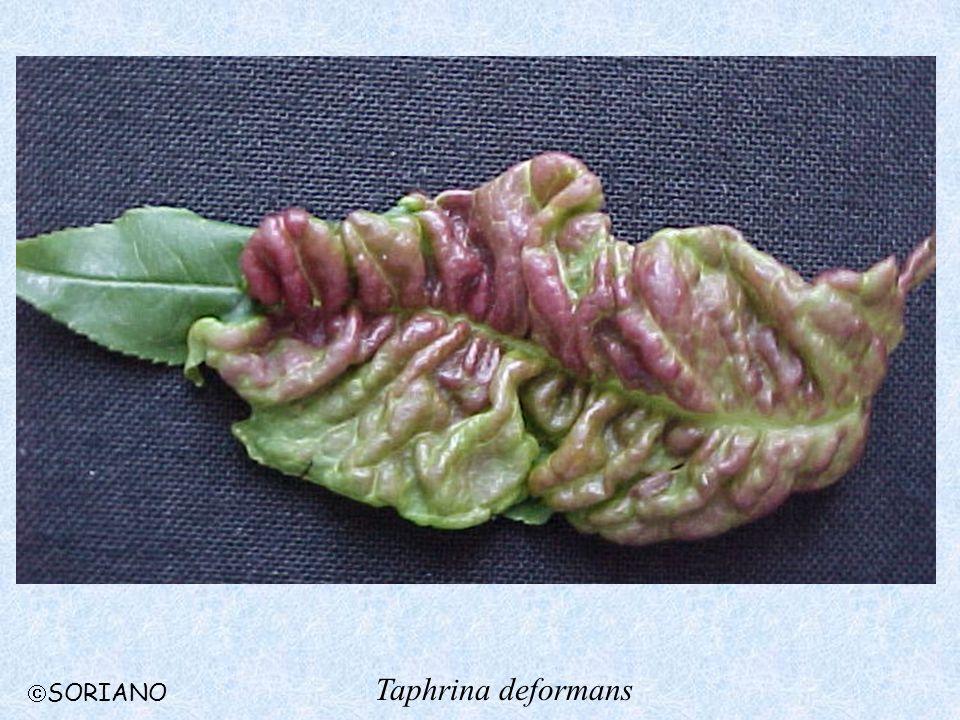 Taphrina deformans SORIANO
