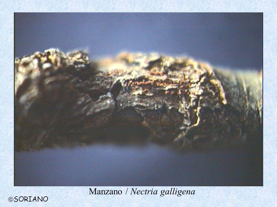 Manzano / Nectria galligena SORIANO