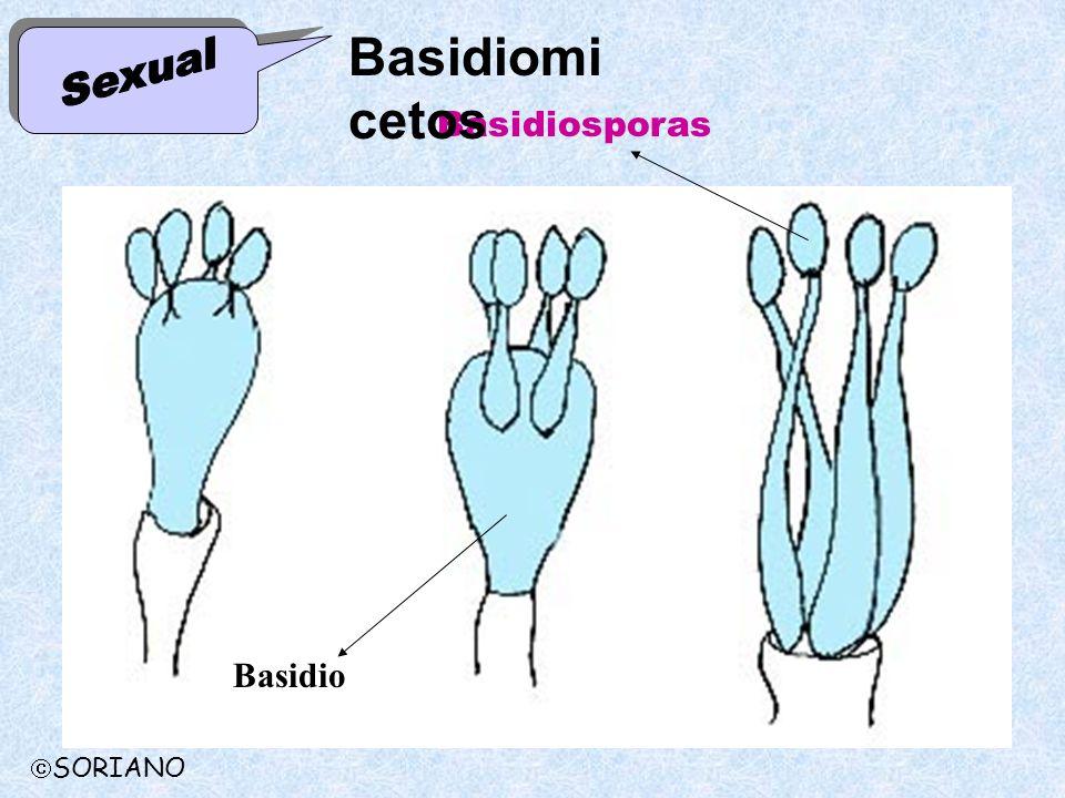Basidiosporas Basidio Basidiomi cetos SORIANO