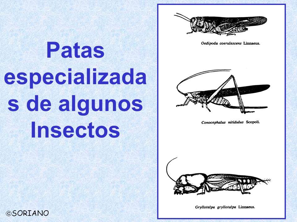 Patas especializada s de algunos Insectos