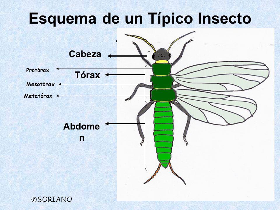 Esquema de un Típico Insecto Adulto SORIANO Cabeza Protórax Tórax Mesotórax Metatórax Abdome n