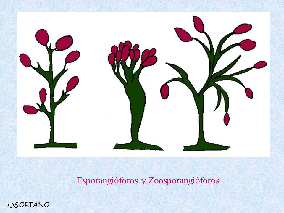 SORIANO Esporangióforos y Zoosporangióforos