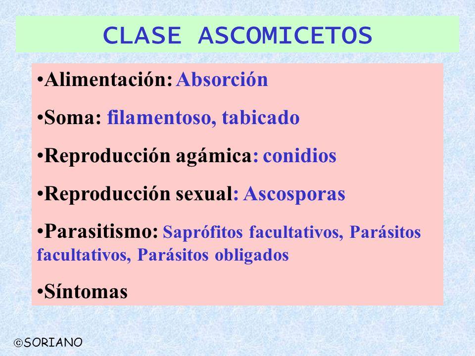 CLASE ASCOMICETOS Alimentación: Absorción Soma: filamentoso, tabicado Reproducción agámica: conidios Reproducción sexual: Ascosporas Parasitismo: Sapr