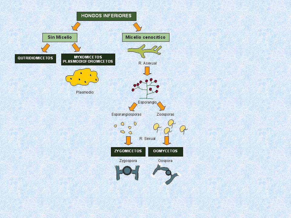 SORIANO Espermogonio Aecio o Ecidio UredosoroTeleutosoro Fase 0 Fase 1 Fase 2Fase 3 Basidio Fase 4