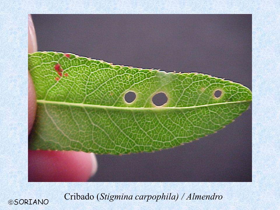 Cribado (Stigmina carpophila) / Almendro