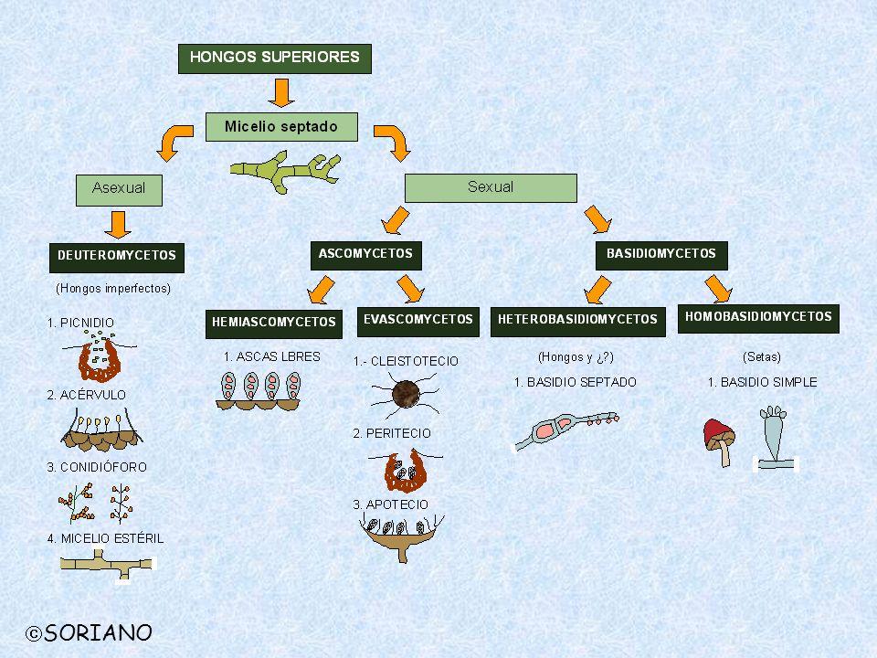 CLASE ASCOMICETOS Alimentación: Absorción Soma: filamentoso, tabicado Reproducción agámica: conidios Reproducción sexual: Ascosporas Parasitismo: Saprófitos facultativos, Parásitos facultativos, Parásitos obligados Síntomas
